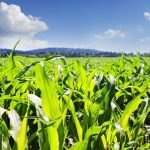 Corn prices hinge on U.S. corn's anticipated bumper crops and that means possible carryover and lower prices.